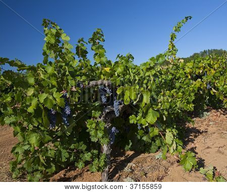 First Grapes In Vineyard Row