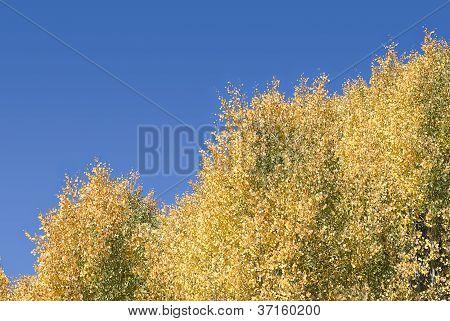 Fall Colors - Quaking Aspens Against A Blue Sky