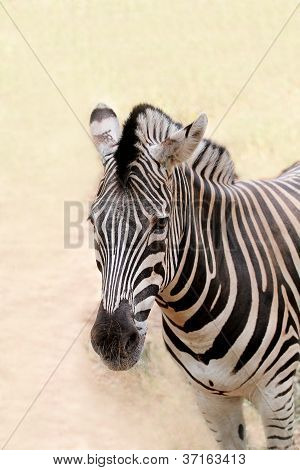 African Wild Animal Zebra's Face Closeup Showing Distinctive Stripes In Black And White. This Mammal