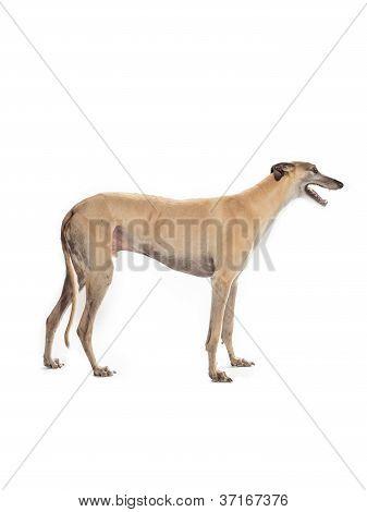 greyhound on white