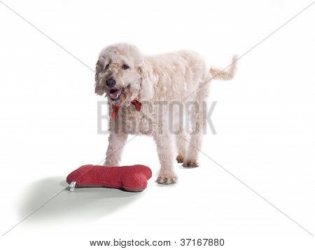 labradoodle and pillow