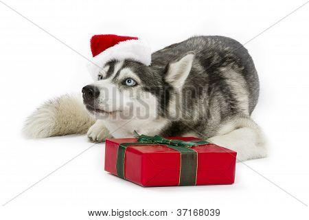 merry christmas husky