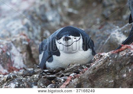 penguin lying on the rock