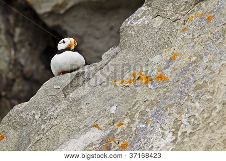 puffin on rock