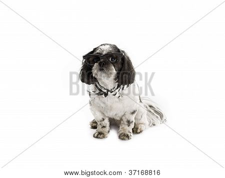 shih poo with sunglass and scarf
