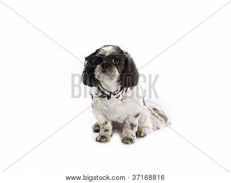 shih poo with sunglass and scarf