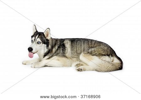 siberian husky tongue out