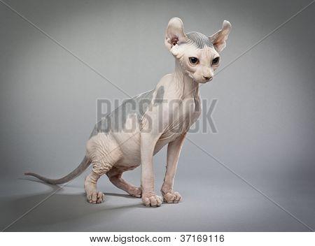 sitting elf cat