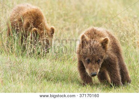 small bear cubs