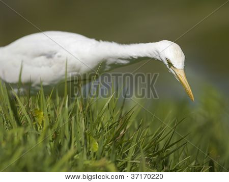 swan looking for food in grass