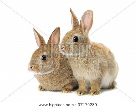 tow cute golden rabbits sitting looking away