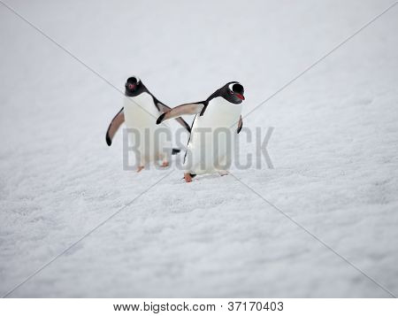 two gentoo penguins walking on snow