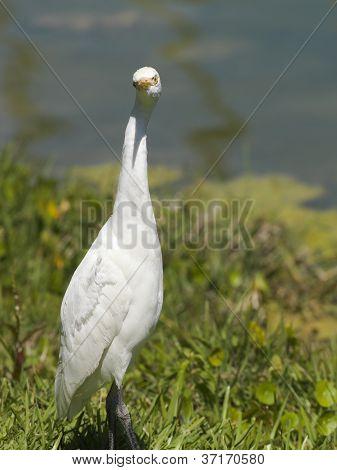 White Aquatic Bird
