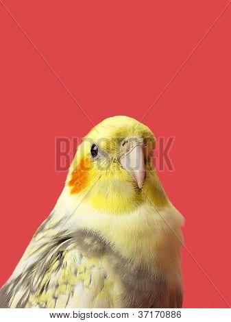 yellow northern cardinal