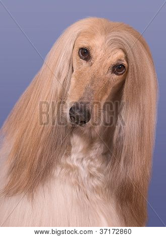Snickers The Afghan Hound