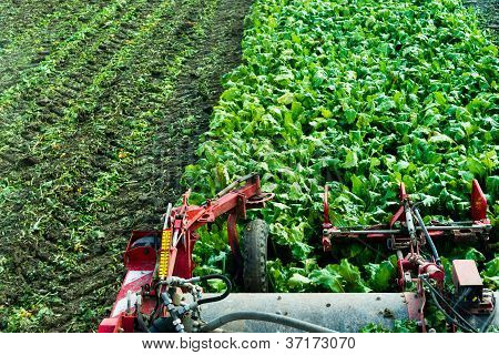Top View From A Beet Harvester At Work