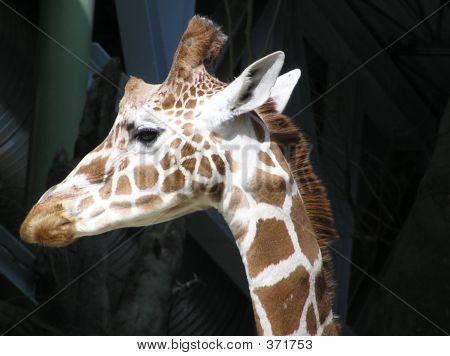Giraffe Listening