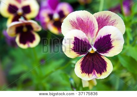 Beautiful Colorful Pansy
