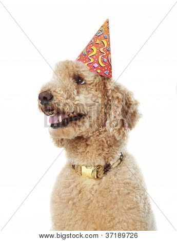 Beige Poodle Wearing Party Hat