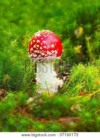 The Fly Agaric or Fly Amanita (Amanita muscaria)  is now primarily famed for its hallucinogenic properties. Appear on Christmas cards and New Year cards from around the world as a symbol of good luck.