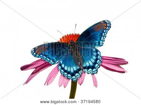 Red-spotted Purple Admiral butterfly on Purple Coneflower, isolated on white