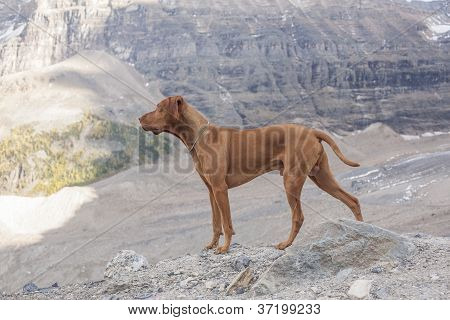 Pure Breed Intact Male Dog