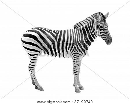 African Wild Animal Zebra Showing Beautiful Black & White Stripes . This Mammal Is Related To Horse