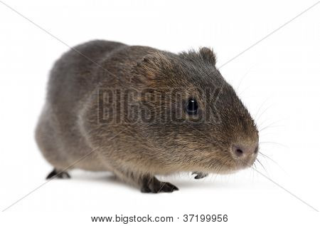 Greater guinea pig, Cavia magna, walking against white background