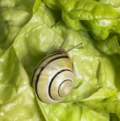 picture of scourge  - studio photography of a Grove snail in fresh green lettuce - JPG