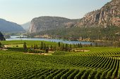 pic of penticton  - Rolling hills of vineyards in front of of Vaseux Lake and the McIntyre Bluffs in the Okanagan Valley - JPG