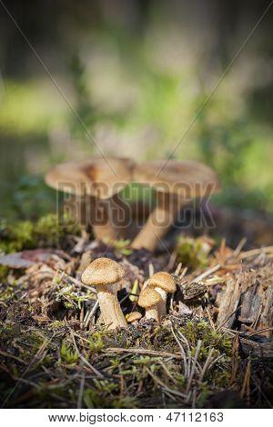 fenugreek milkcap mushrooms