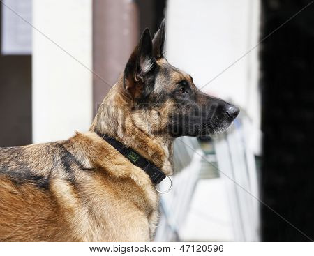 German Shepherd Portrait Outdoors