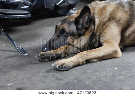 German Shepherd Dog Lying On The Ground