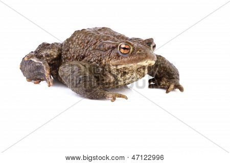 common toad or european toad
