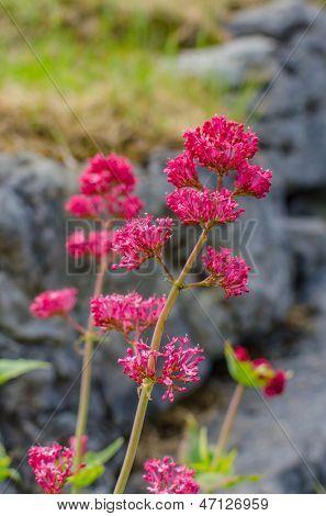 Centranthus ruber in Ireland