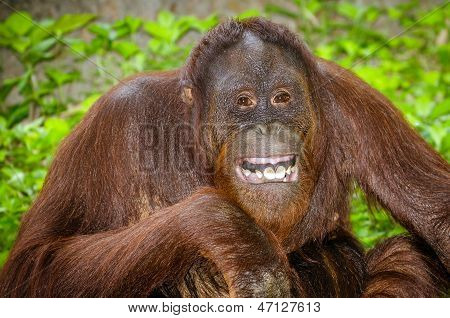Portrait of Orangutan (Pongo pygmaeus) smiling with his teeth