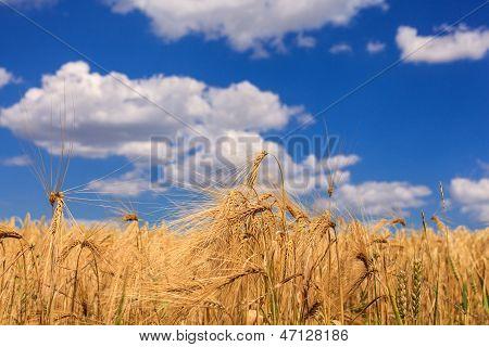 Ripe Wheat Against A Blue Sky