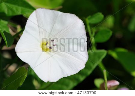 White Convolvulus (Bindweed) Flower Close-up