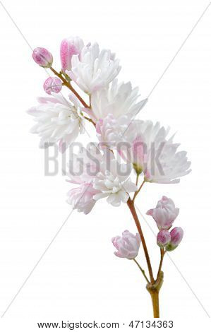 Beautiful Deutzia Scabra Flowers On White Background