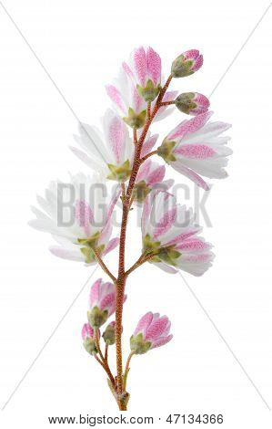 Elegant Pinkish White Fuzzy Deutzia Flowers On White Background