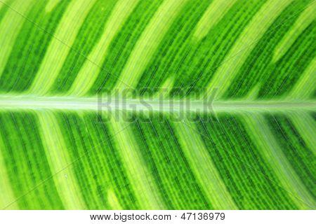 Green Fresh Arrowroot Blade Texture