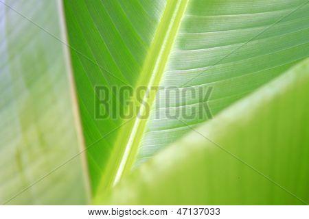 Green Fresh Banana Leaf Texture