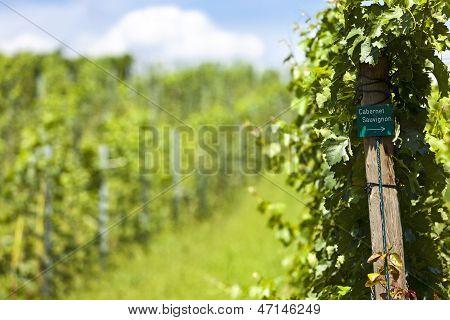 Vineyard Of Cabernet Sauvignon Grape
