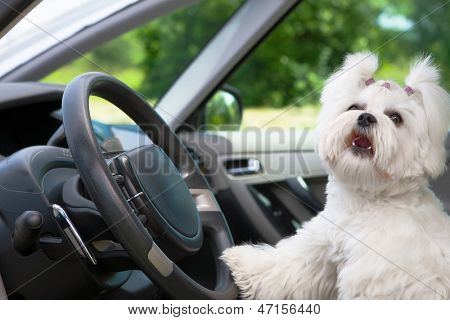Little cute maltese dog in the car with paw on the steering wheel barking