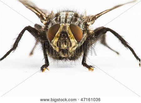 Close Up Of Fly  Facing Camera
