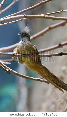 Mousebird Manchado (colius Striatus)