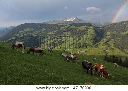 Herd Of Cattle Grazing