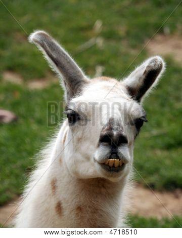 A White Llama