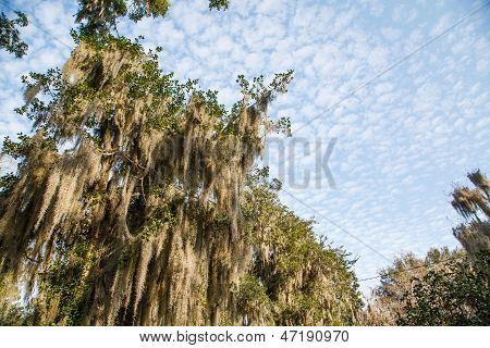 Spanish Moss And Sky