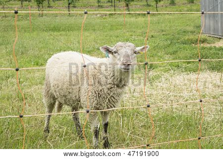 Sheep Behind Electric Fence